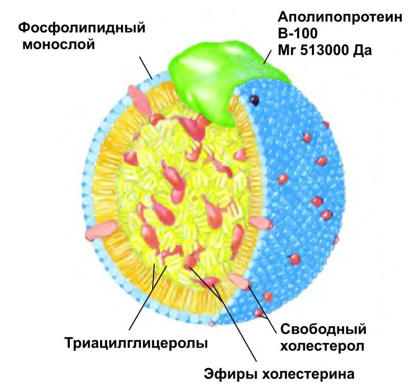 Структура липопротеида