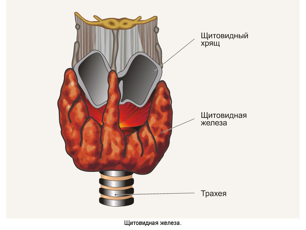 Щитовидка схема